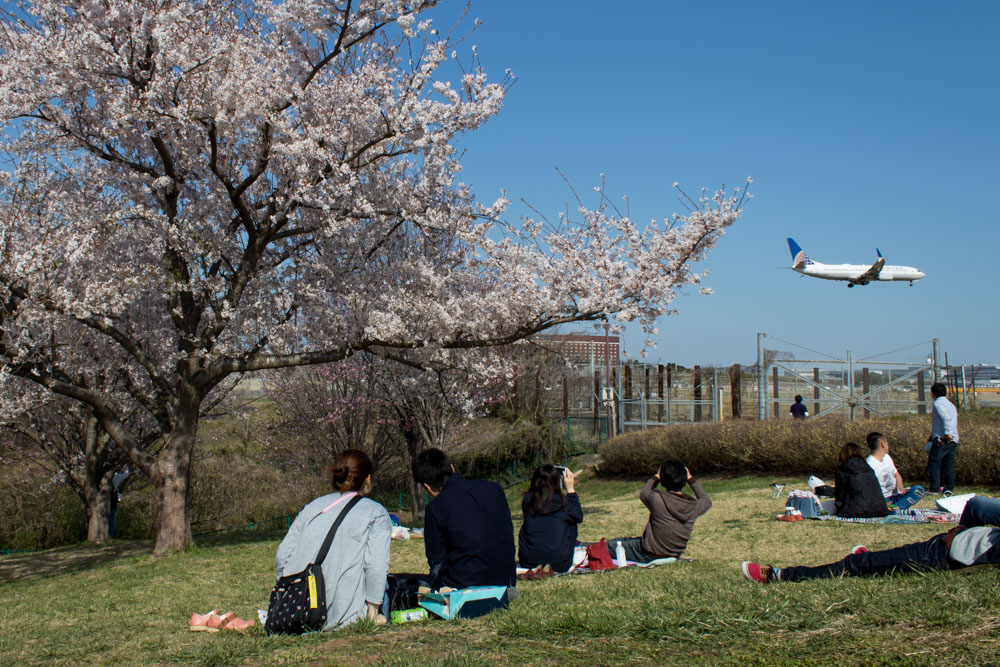 United Airlines 737 Landing with Sakura in the Foreground